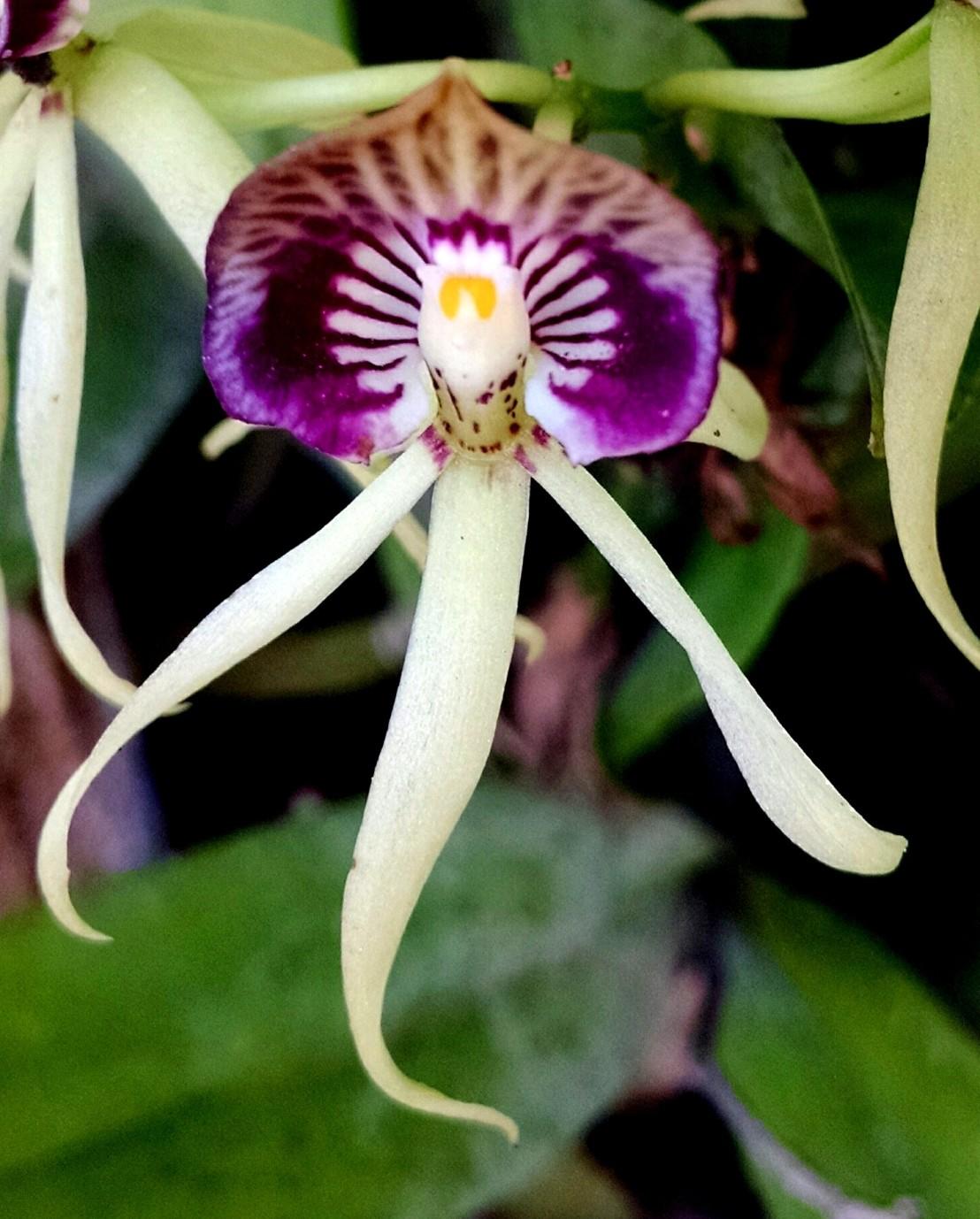 blackorchid